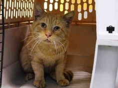 TO BE DESTROYED 11/3/14 ** CUTE AS A BUTTON, OLIVER! Brooklyn Center * According to the vet exam, Oliver is very friendly!! FIV + **   My name is OLIVER. My Animal ID # is A1019143. I am a male org tabby domestic sh. The shelter thinks I am about 7 YEARS old.  I came in as a STRAY on 10/29/2014 from NY 11208,  Group/Litter #K14-200227.