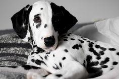 Black and White Dog by oliviermartins, via Flickr