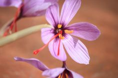 Saffron flower. (Only use the red pistils)