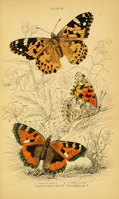 jomobimo:    Plate 19: 1749-1817 Butterflies    The Small Tortoiseshell (Aglais urticae) and the Painted Lady (Vanessa cardui)