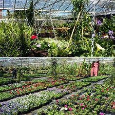 Bedding at Hill House Nursery.