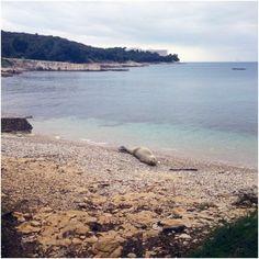 Mittelmeer-Mönchsrobbe bei Pula: Video http://www.inistrien.hr/aktuelles/mittelmeer-moenchsrobbe-bei-pula-video/  #Natur #Tiere #Istrien #Pula