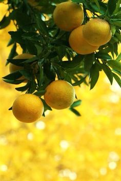 Lemon tree in Capri