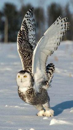 ¡Excelente #Foto de un #Búho levantando el vuelo en la #Nieve !