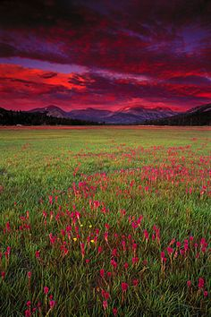 Lemmon's paintbrush at sunset, Tuolumne Meadows, California