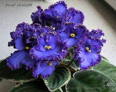 Inner Strength, пример цветения из Сети (растение и фото Нины Дерябиной). Беру процветшую розетку на реанимацию
