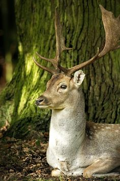 Fallow Deer Stag resting under a tree