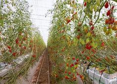 UAE-based Pure Harvest Smart Farms raises $60m in new funding round #UAE #Unitedarabemirates #MiddleEast #Startups United Arab Emirates, Startups, Uae, Farms, Harvest, Tech, Pure Products, Homesteads, Technology