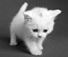 kittens are adorable, now cats on the other hand. Cute Animal Pictures, Funny Cat Pictures, Funny Images, I Love Cats, Crazy Cats, Face Chat, Cute Baby Animals, Funny Animals, Wild Animals