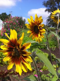 sunflower and bee at Silverton Vineyard