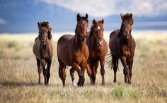 Wild Horses Suffer due to Mismanagement, Says New Study from National Academy of Sciences which has condemned the Bureau of Land Mgt (BLM) over its wild horse & burro management practices. Source: Care2.com