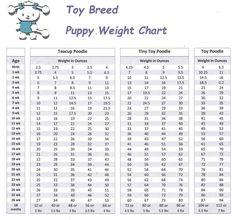 www.maltipoopuppies.us maltipoo puppies for sale & weight