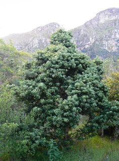 Podocarpus Latifolius Real Yellowwood Opregtegeelhout National Tree of South Africa m African Tree, African Plants, Flowering Bushes, Native Country, Africa Art, Water Wise, Wood Tree, Beaches In The World, Tree Leaves
