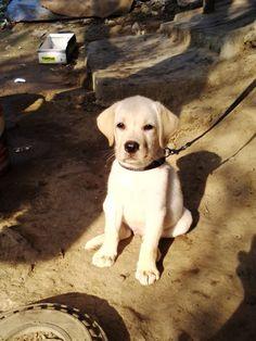 How to Care for a Labrador Retriever: 7 Steps (with Pictures)