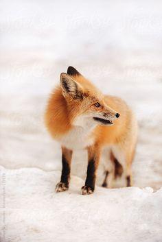 Red Fox by Angela Lumsden | Stocksy United