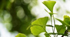 ginkgo biloba feuilles médecine chinoise