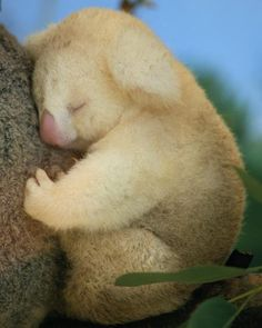 This albino koala would typically have ashy gray fur. Researchers have found that albinism occurs in one out of every 10,000 mammals.