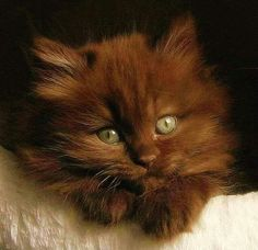 Bright-eyed brown kitten. So cute!