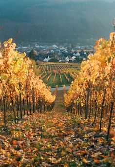 Golden vineyards | by Flashbaxxx