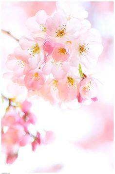 blooms-and-shrooms: Cherry Blossom Bouquet by simzcom Mermaid Wallpaper Backgrounds, Flowery Wallpaper, Cherry Blossom Bouquet, Cherry Blossom Flowers, Ikebana, Stay Wild Moon Child, Flower Shower, Flower Aesthetic, Flowers Nature