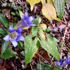 【uutatta】さんのInstagramをピンしています。 《道の傍らにそっと咲いていたリンドウ。  #リンドウ#りんどう#散歩#秋#草花#花#山#野草#森#晩秋#遊ぶ#自然#生活#庭#子供#田舎暮らし#アート#紫#絵描き#nature#forest#flower#autumn#country#countrylife#life#amazing#art#instagood》