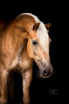 Most Beautiful Animals, Beautiful Horses, Beautiful Creatures, Horse Photos, Horse Pictures, Equine Photography, Animal Photography, Haflinger Horse, Types Of Horses