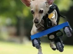 A special Chihuahua mix from Fort Worth was born to run | News | News from Fort Worth, D...