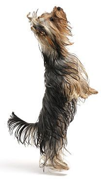 Yorkshire Terrier Training Tips and Information
