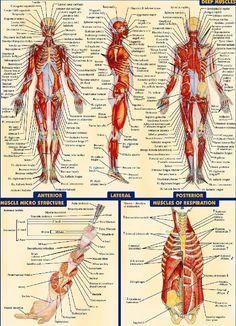 Human Anatomy All System Body Map Fabric poster 32 Human Body Anatomy, Human Anatomy And Physiology, Muscle Anatomy, Foot Anatomy, Anatomy Drawing, Map Fabric, Body Map, Muscular System, Nursing Notes
