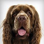 I'm normally not one for spaniels, but this Sussex is adorbs
