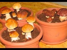 Most people who go in for mushroom growing just go out and buy both the spores (or spawn) and the growth medium. They do this because this is the easiest way to grow mushrooms. But if you are thinking of growing mushrooms commercially Porcini Mushrooms, Stuffed Mushrooms, Container Gardening, Gardening Tips, Culture Champignon, Household Plants, Growing Mushrooms, Permaculture, Hydroponics