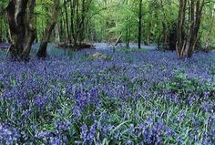 Since 1972 the Arlington Bluebell Walk and Farm Trail based at Bates Green Farm has developed into seven interesting walks over three working farms. Brighton Sussex, East Sussex, Brighton Uk, Wild Bluebell, Days Out With Kids, Green Farm, Places Of Interest, Wonderful Places, Beautiful Things