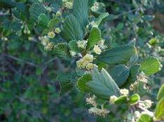 cercocarpus betuloides - Google Search