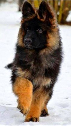Long hair German Shepherd Puppy- makes me miss my sweet girl!! Beautiful