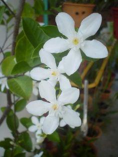 Photographer: Hana San Location: in her garden Star Angel Flowers Angel Flowers, Burma Myanmar, Body Modifications, Hana, Scenery, Traveling, Mindfulness, Lovers, Tattoo