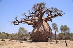 South Africa--Baobab Tree in Kruger Nation Park South Africa ... The baobab tree has an enormous barrel-like trunk which may reach a diameter of 9m and a height of 18m. It is also one of the longest lived trees in the world; radio-carbon dating has measured ages of over 2000 years.