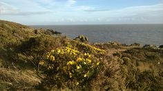 Gorse on the Solway coastal path near Portling. March 2014