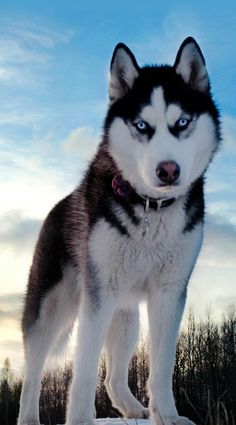 Trendy Dogs And Puppies Husky Animals Ideas Cute Husky Puppies, Puppy Husky, Siberian Husky Dog, Huskies Puppies, Chiweenie Dogs, Baby Huskies, Alaskan Husky, Pomeranian Puppy, Husky Training