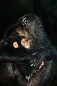 #Chimpanzé et bébé, Gérard Lacz pour le ZooParc de Beauval
