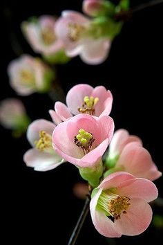 A beautiful photo of flowering quince. Colorful Roses, Exotic Flowers, Amazing Flowers, Beautiful Flowers, Beautiful Beautiful, Elegant Flowers, Flowers Nature, Spring Flowers, Bouquet