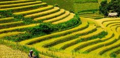 Best places to observe terraced fields of golden rice in Northwest Mountain -  All seasons in the Northwest Mountain are beautiful and attractive.  Each season gives tourists different feelings. Especially, from mid-September to late October, it's the best time of grain season when the local people start to harvest. Northwest Mountain with the terraced fields of golden rice draws the special attention of tourists and photographers.  #BestOfVietnam, #ThingsToDoInVietnam, #
