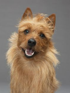 Australian Terrier #dogs #animal #australian  #terrier