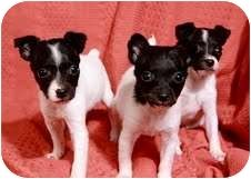 Darling babies…. Rory, Randy and one little girl – Rachel, these pups are all Rat Terrier. Mom and the babies came to us when the pups where 3 weeks old from a breeder who was downsizing her kennel due to her health issues. The pups are very cute, tiny, playful and happy. They are so small that I wonder if mom had an affair with a Chihuahua. Just 8 weeks old. These pups would like to be adopted. Click on picture to find out how.