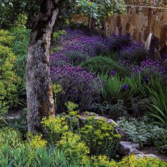 """""""Quercus douglasii (blue oak) stands sentry at the courtyard gate, its cool-bluish leaves contrasting with the peachy warmth of sunlit stone. Massed drifts of Lavandula stoecha and Lavandula 'Grosso' weave through small-scale beareded iris and lemon-lime clusters of Euphorbia 'Limewall.'"""" """"napa au natural,"""" from the Met Home May 08 issue. Photographs by Marion Brenner, article by Janet Fletcher."""