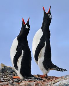 Gentoo Love Song - A pair of Gentoo Penguins greet each other on a colony - Antarctica