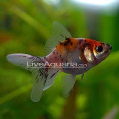 Fantail Goldfish, Calico