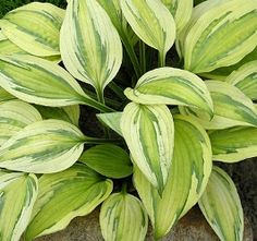Buy plantain lily Hosta 'Captain's Adventure' - Colourful foliage for partial shade: Delivery by Waitrose Garden in association with Crocus Hosta Plants, Shade Perennials, Foliage Plants, Flowers Perennials, Planting Flowers, Unique Plants, Rare Plants, Outdoor Plants, Outdoor Gardens
