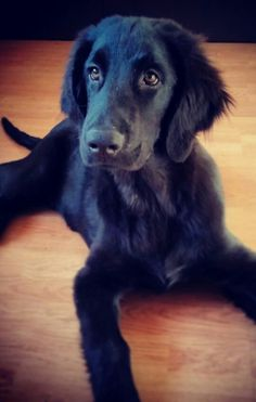 Oh. My. This looks exactly like my Bailey. -flat coated retriever