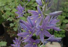 Native perennial with grasslike foliage: Camassia leichtlinii,  Great Camas, Leichtlin's Camas