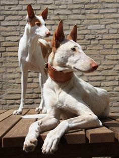 The Ibizan Hound is an elegant, agile, deer-like hound with large ears and amber eyes that give the breed an exotic look. Their coats are red, white or any combination of the two colors. They can have smooth coats or longer wiry coats with bushy moustaches. In the Ibizan's native Spain, the breed is used in packs to hunt rabbits. The Ibizan is unequaled in high and broad jumping ability, which it uses to hunt in the rough terrain of its native land.